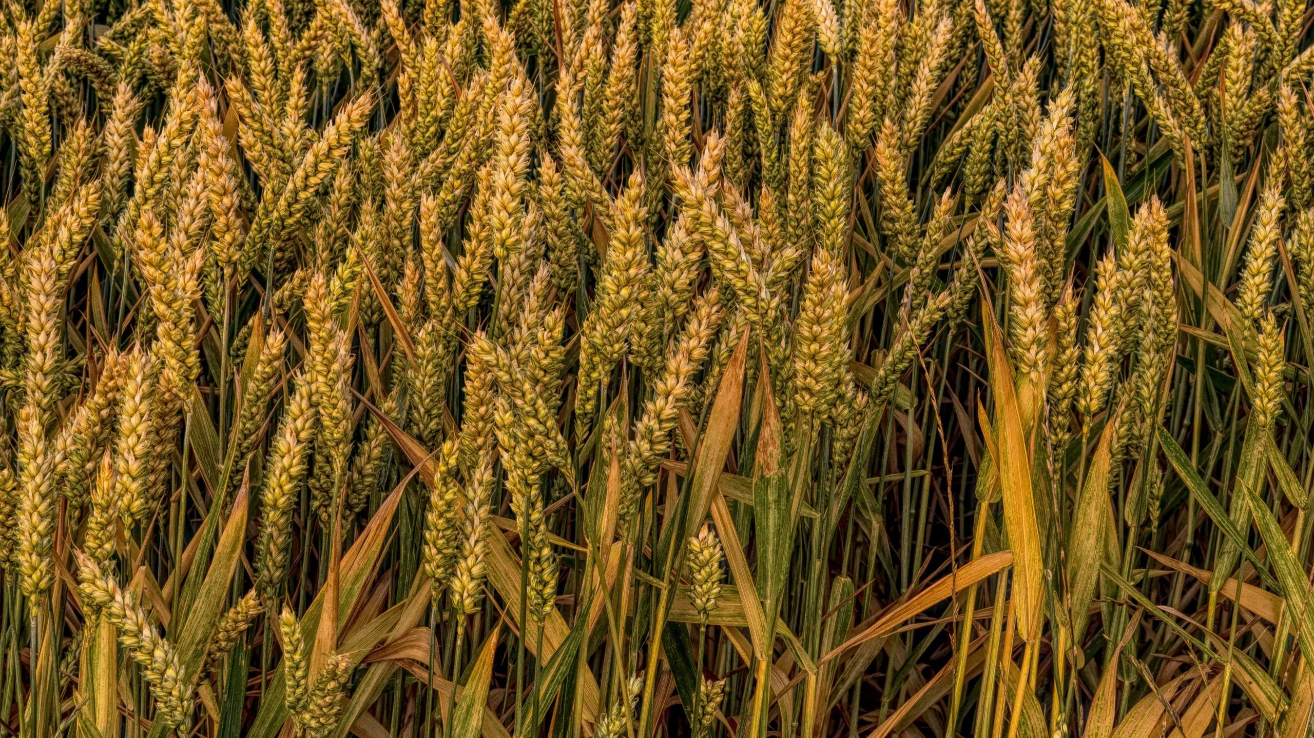 Cereals Close Up Crop 531374