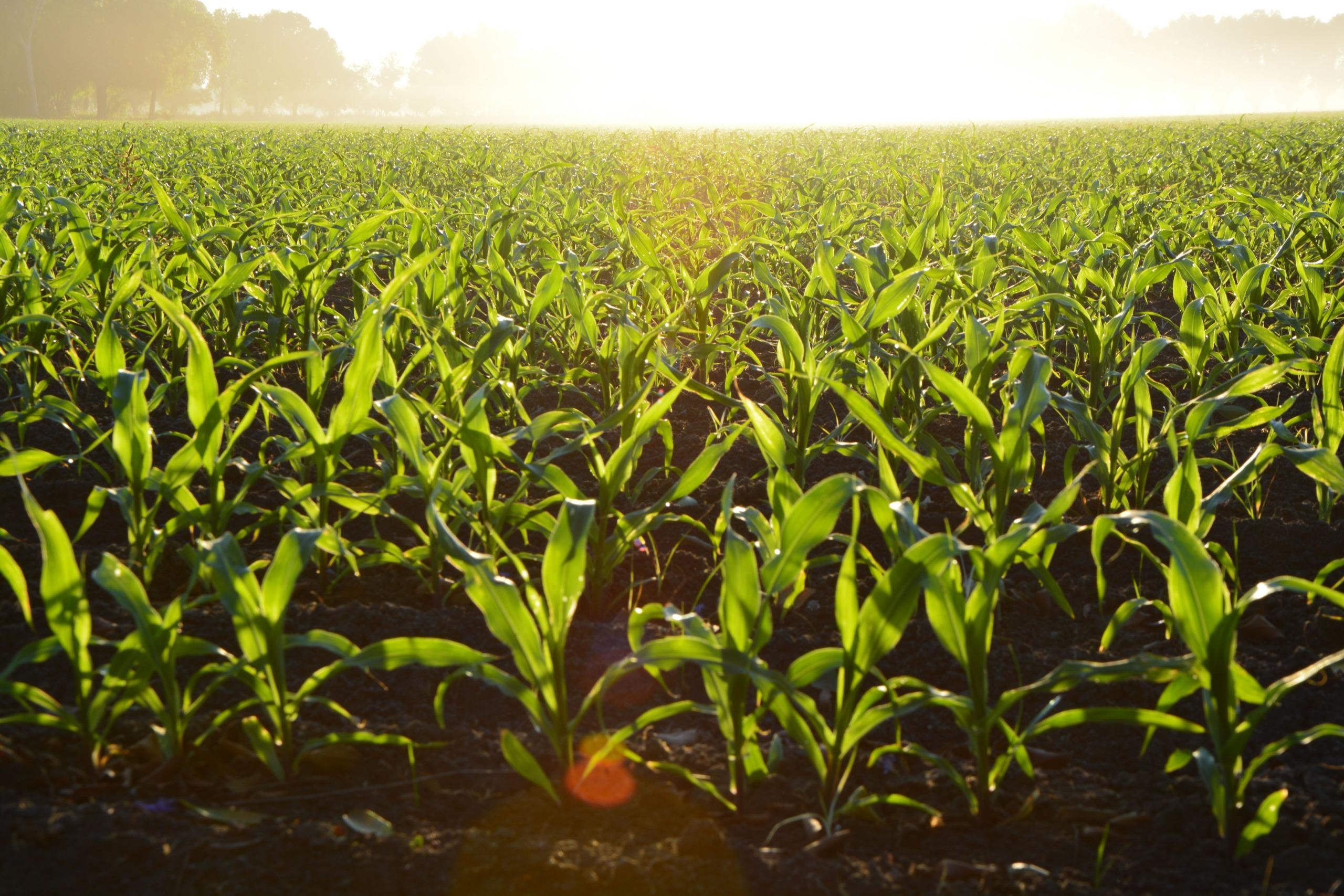 Corn Cropland Crops 96715